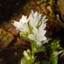 "Campanula glomerata ""Alba"" (Campanula glomerata (Clustered bellflower))"