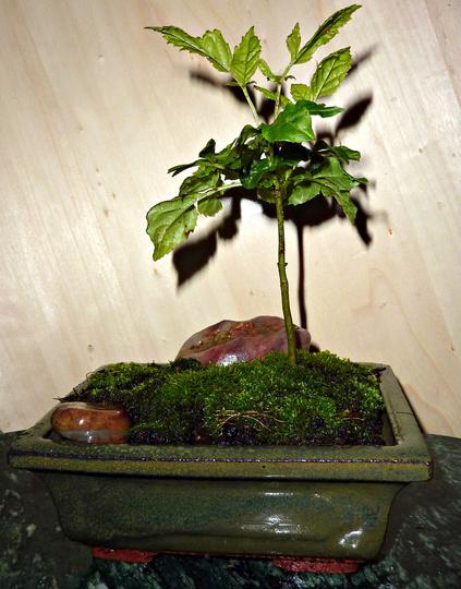 Bonsai Ash