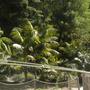 A Grove of Kentia Palms (Howea fosteriana) (Kentia Palms (Howea fosteriana))