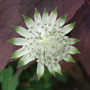 Astrantia_shaggy_2