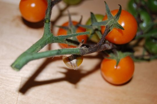Cherry tomatoes with blight