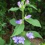 Campanula_latifolia_brantwood_
