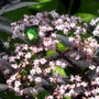 Mint Beetle on Sambucas