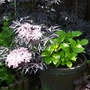 Sambucas and Hydrangea