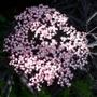 Close up of the Sambuca Flower