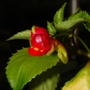 Impatiens kilimanjari (Impatiens kilimanjari (Kilimanjaro Impatiens))