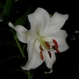 Lilium cv 'Casa Blanca'