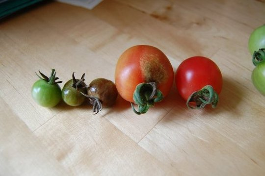 Comparing tomatoes