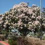 Calodendron capense - Cape Chestnut Flowering (Calodendron capense - Cape Chestnut)
