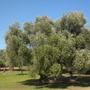 Olea europaea - Olive Tree Grove  (Olea europaea - Olive Tree)