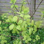 Lime Coloured Smoke Bush