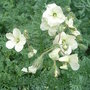 Erodium_chrysanthum
