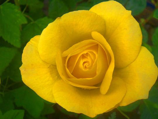 rose - Arthur bell