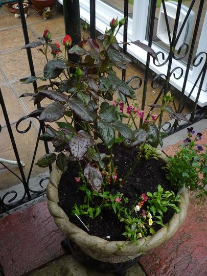 Piccalo in the rain for Terra'