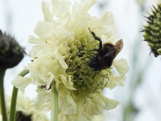 Bee on Cephalaria Gigantea (Cephalaria gigantea (Giant scabious))