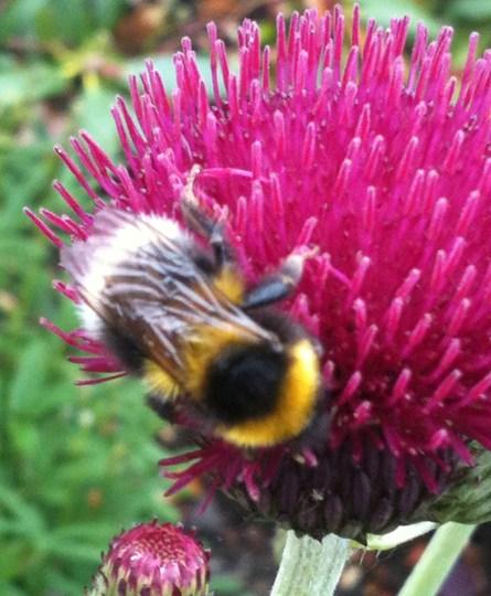 Bee on Cirsium (Cirsium rivulare (Plume thistle))