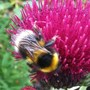 Bee on Cirsium (Cirsium rivulare (Plume thistle))