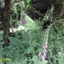 foxgloves under the  trees