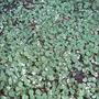Fuchsia_procumbens_argentea_