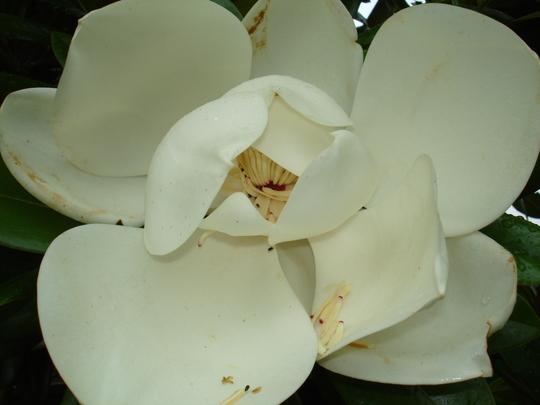picture 1 (Magnolia Grandiflora)
