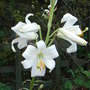 Lilium candidum (Lilium candidum)
