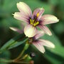 Sisyrinchium 'Quaint and Queer' (Sisyrinchium 'Quaint and Queer')