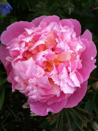 Pink Paeony (Paeonia)
