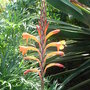 Watsonia_pillansii