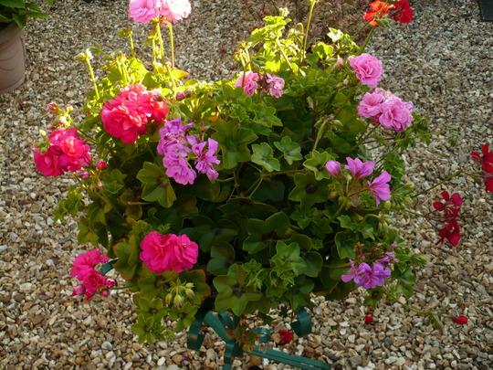 Rosebud Geraniums.
