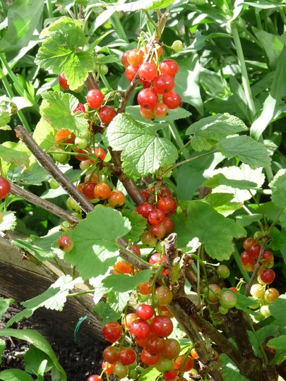 Redcurrants ripening nicely....:o) (Ribes rubrum (Redcurrant))