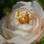 Rose - Charlotte