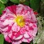 .My Garden - Rosa Mundi