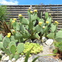 Nice one! (Opuntia ficus-indica (Barbary Fig))