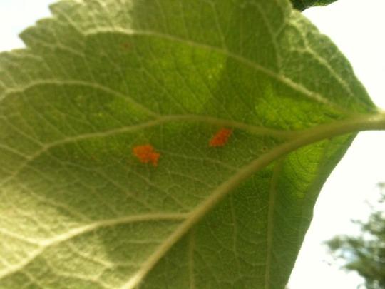 ladybird eggs