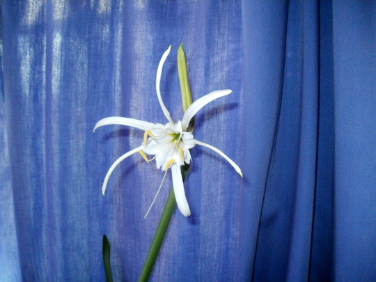 Spider Lily (Hymenocallis festalis)