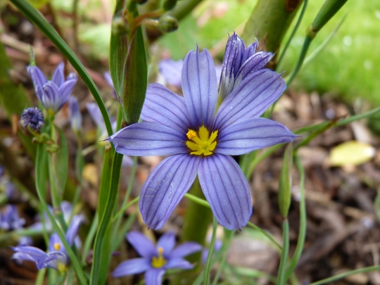 Sisyrinchium Bellum - for my records (Sisyrinchium bellum)