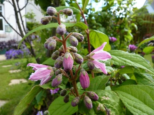 Deutzia 'Strawberry Fields' (Deutzia x hybrida)