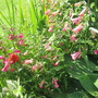 Penstemons Beech Park, Windsor Red and Picot Red (Penstemon bridgesii (Bridges Penstemon))