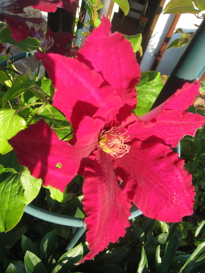 Clematis 'Rebecca' - this is defintely 'Rebecca'