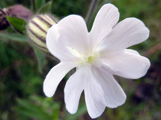 Silene latifolia: