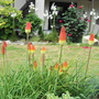 Red hot poker (Kniphofia caulescens (Red hot poker))