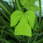 unusual leaf