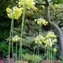Primula florindae - 2012 (Primula florindae)