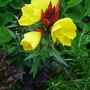 Oenothera fruticosa 'Fyrverken' - 2012 (Oenothera fruticosa)