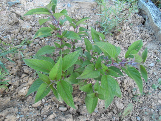 Sage Pineapple (Salvia elegans)