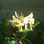 Honeysuckle (Graham Thomas) (Lonicera periclymenum (Honeysuckle))