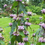 Phlomis 'Tuberosa' for Dawn (Phlomis)