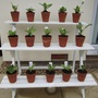 My take on the auricula theatre