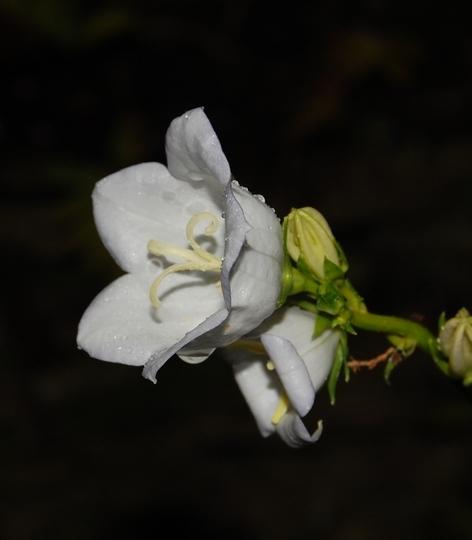 Self seeded Campanula (Campanula persicifolia (Peach-leaved bellflower))