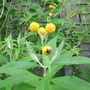 Buddleia globosa (Buddleja globosa (Orange ball tree))
